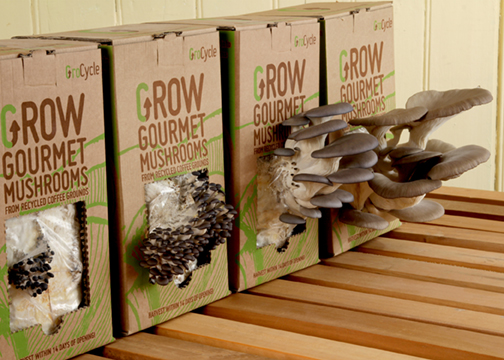 Photo of GroCycle Kits growing mushrooms on coffee grounds