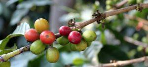 Coffee Tree Cherry