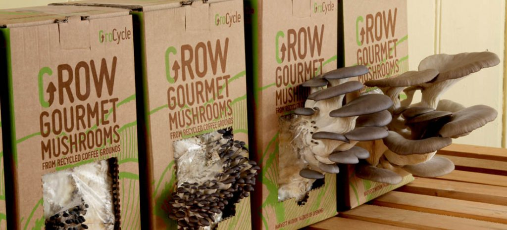 Oyster Mushrooms growing from coffee grounds - GroCycle Mushroom Kits
