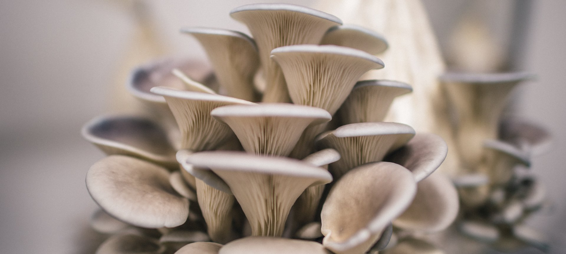 How To Grow Oyster Mushrooms At Home