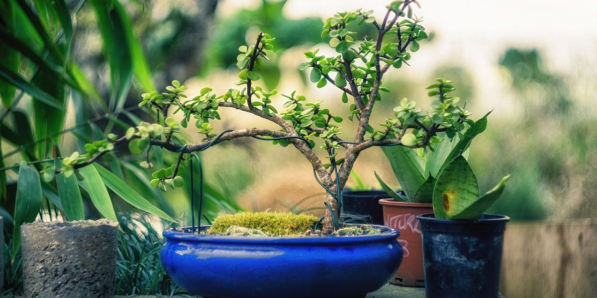 Bonsai Plants growing