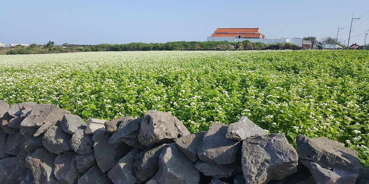 Buckwheat farm growing