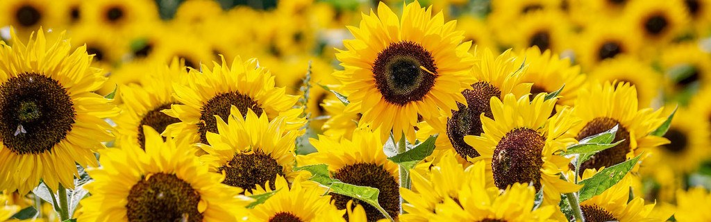How To Grow SunflowerHeader Microgreens Fast And Easy