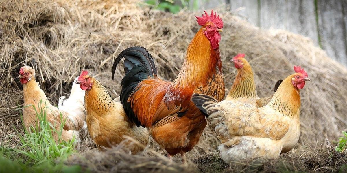 Livestock farm chickens