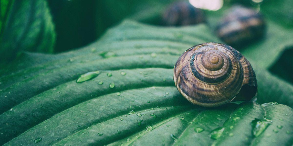 Snail farming