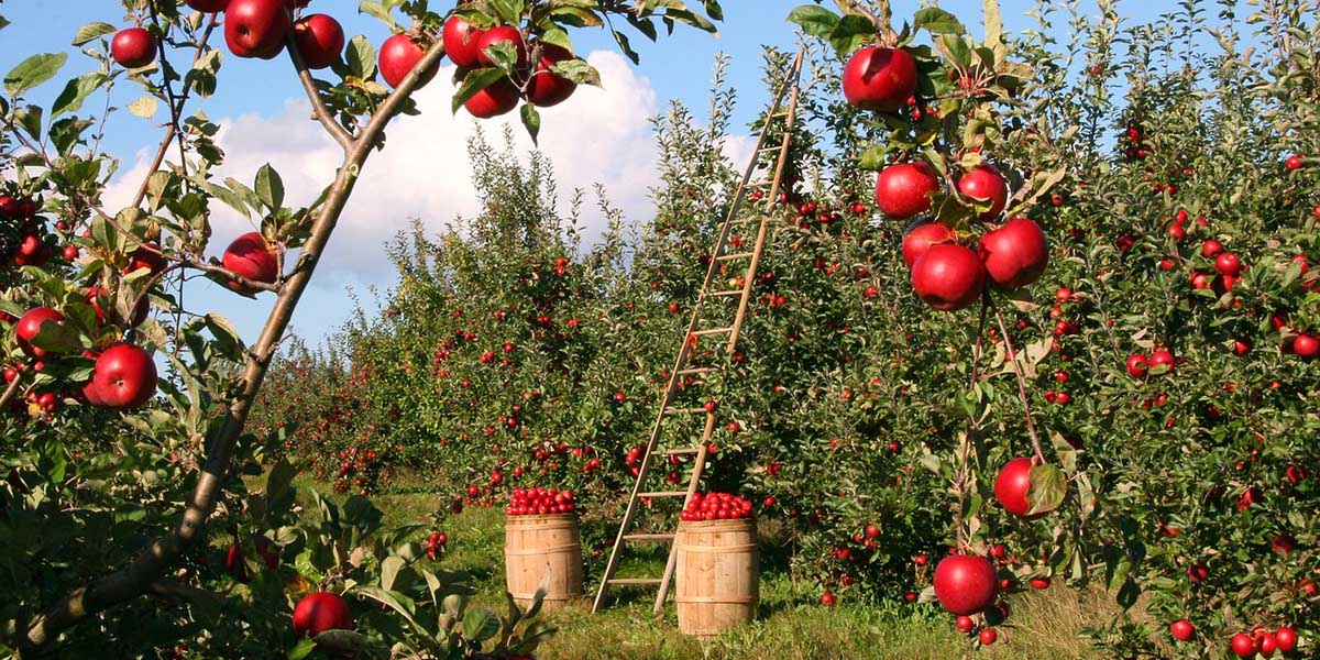 Soft Fruit Fruit Trees
