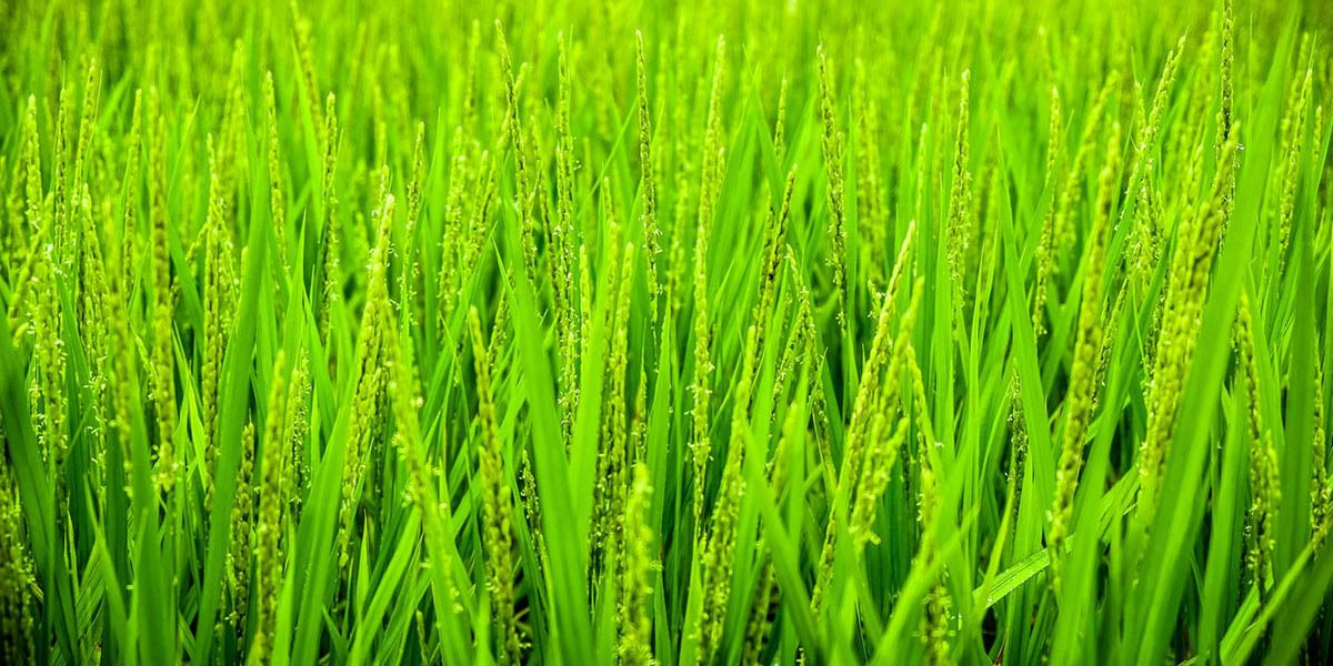 Wheat grass growing
