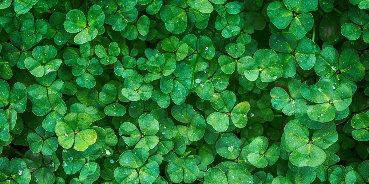 Clover growing