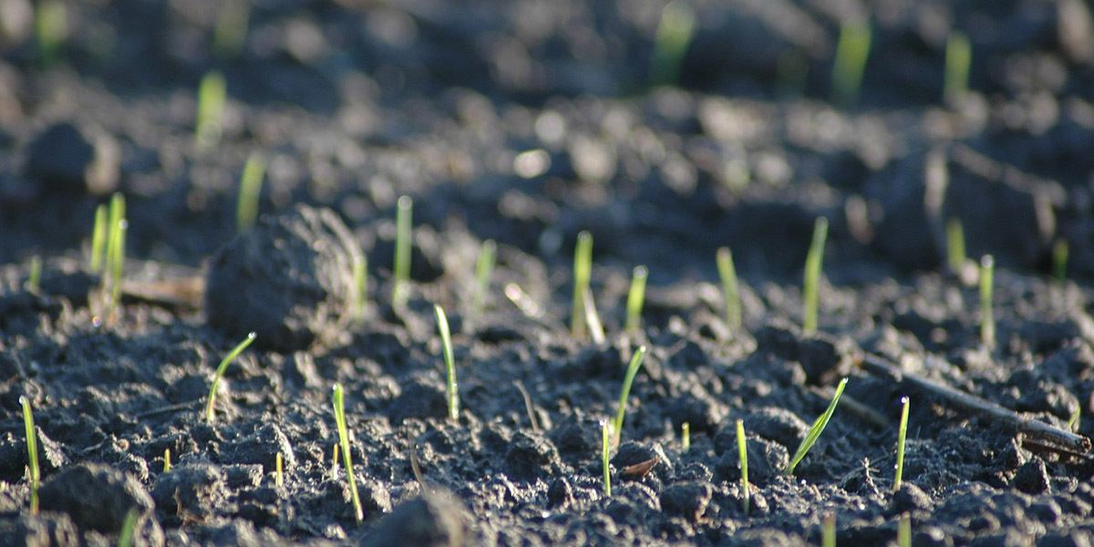 germinating microgreens