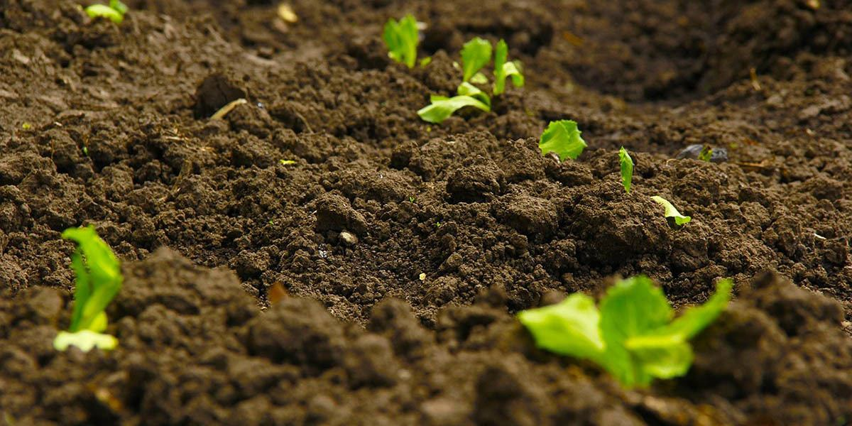 microgreens and soil for growing
