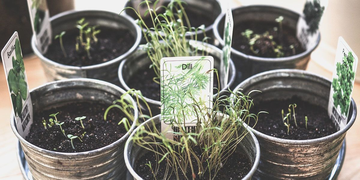 microgreens at home indoor