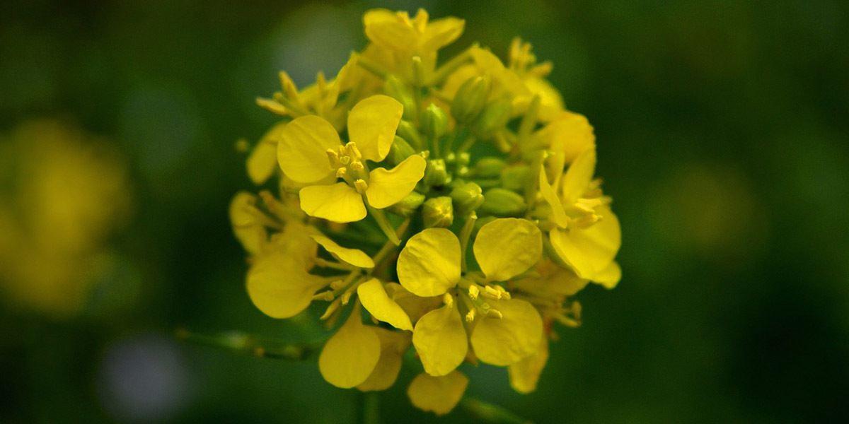 mustard-flower