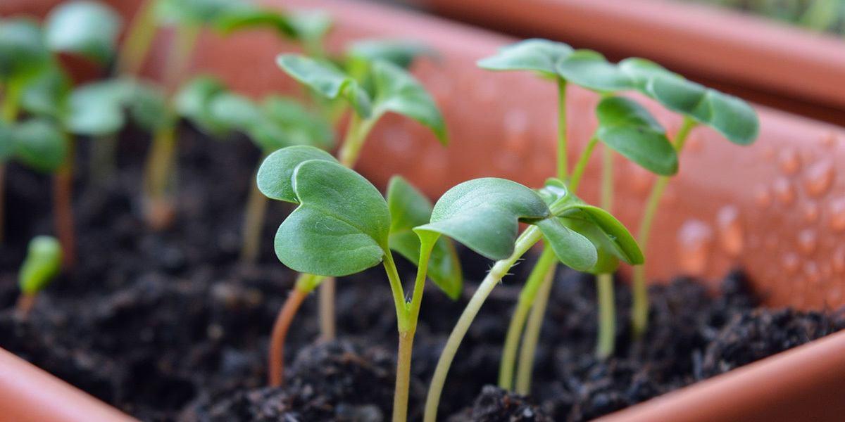 Best microgreens to grow