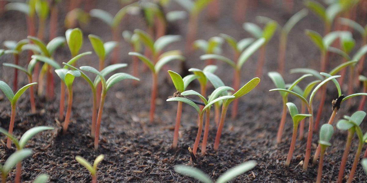 tomato microgreens growing