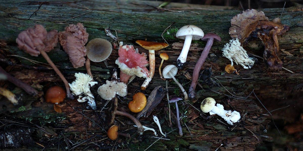 Header Medicinal Mushroom Use