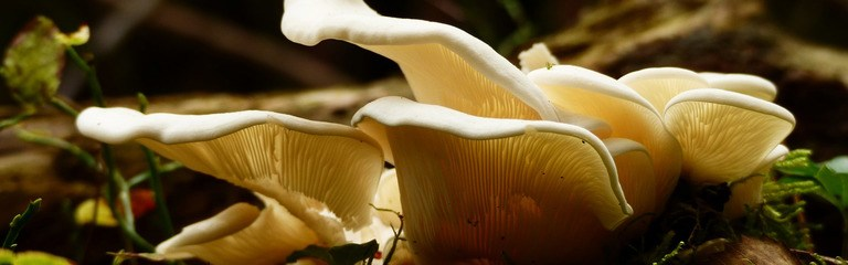 Oyster Mushrooms 101 A Complete Guide To Oyster Mushrooms Header