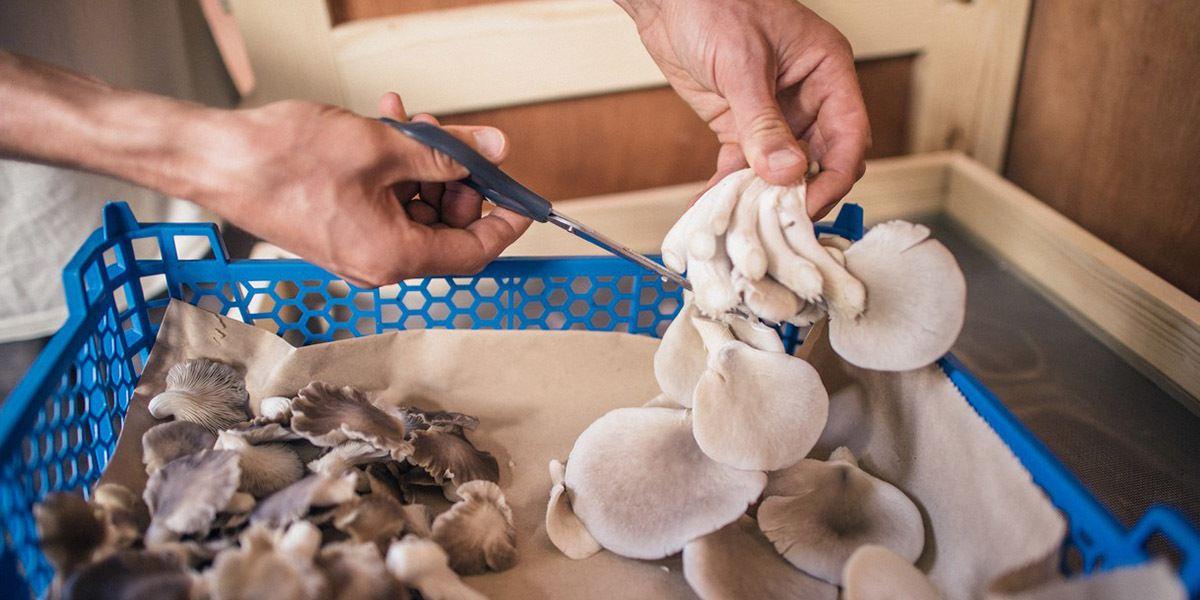 Oyster Mushrooms For Bioremediation
