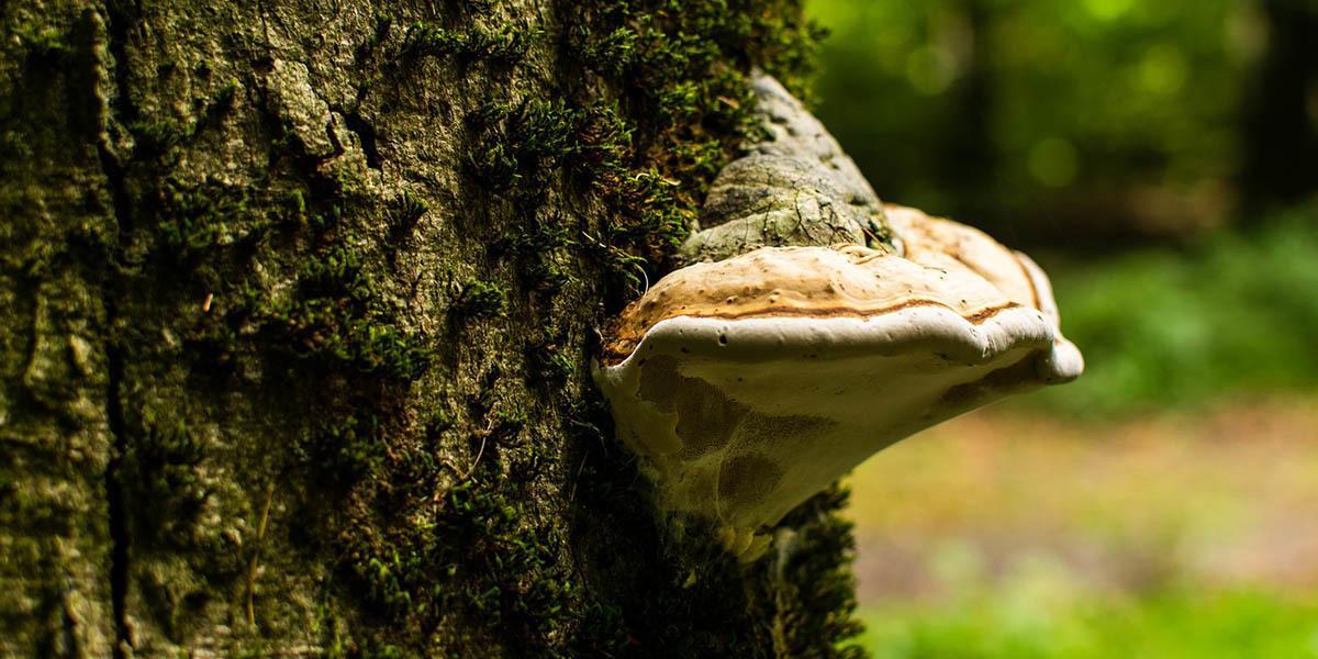 Parasitic Mushrooms