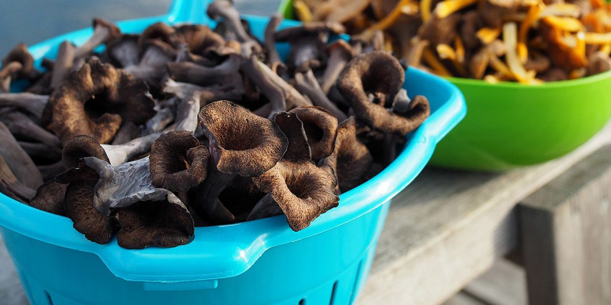 Black Trumpet Mushrooms