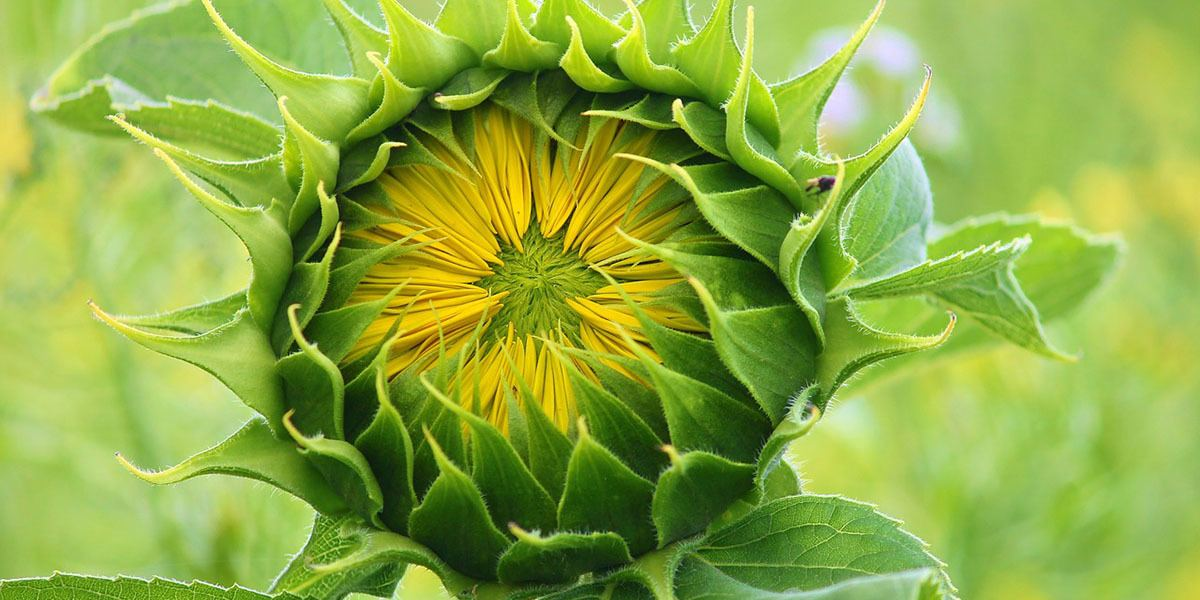 sunflower growing