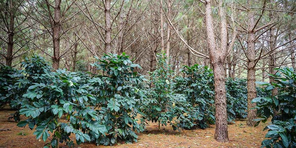 Agroforestry system