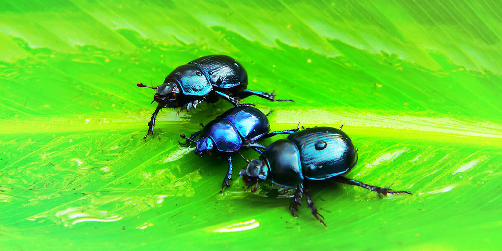 Cochineal Beetles