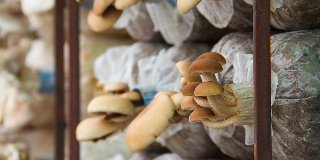 How To Grow Cremini Mushrooms