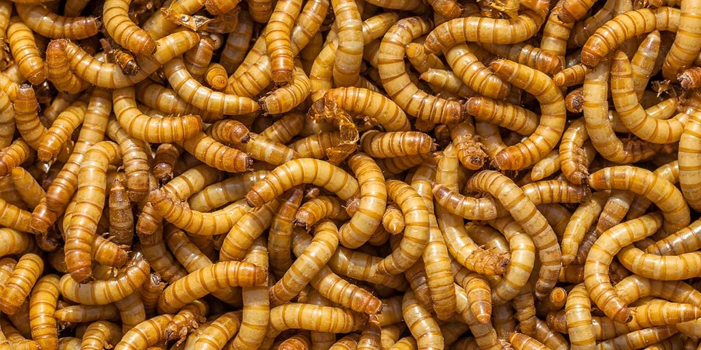 Waxworms, Mealworms, and Buffaloworms