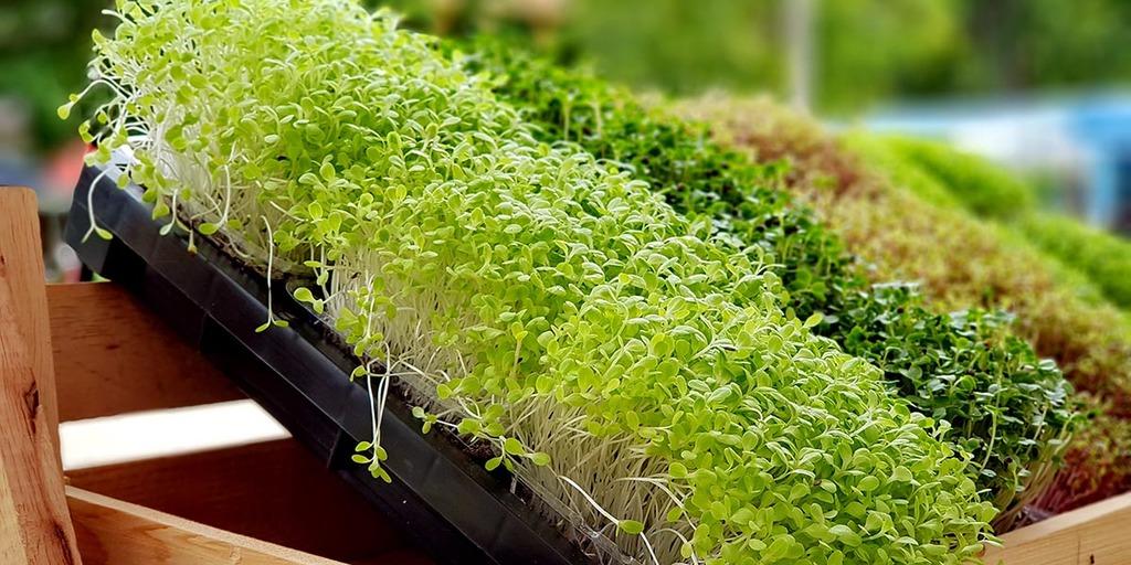 Microgreens Sustainable