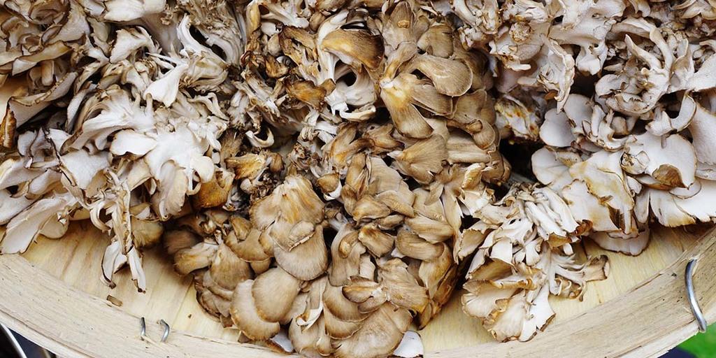 foraging for maitake mushrooms