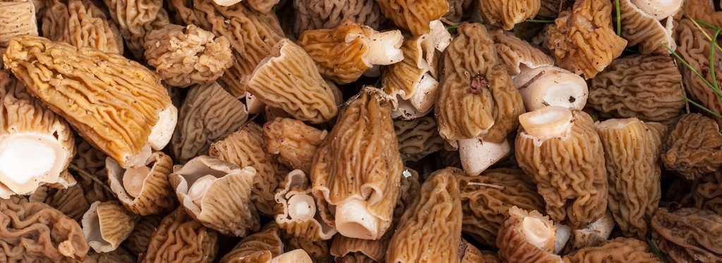 Complete Guide To Morel Mushrooms