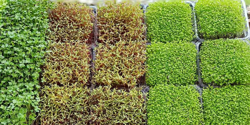 What Are The Differences Between Growing Mushrooms and Microgreens?