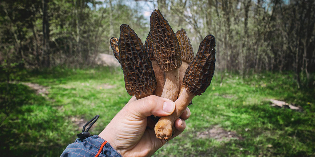 How To Forage For Morel Mushrooms and Harvest Them