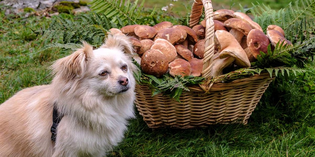 What Mushrooms Are Safe For Dogs To Eat