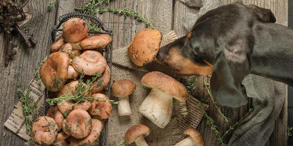 Dogs Eat Mushroom
