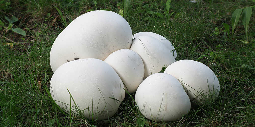 How To Forage For Puffball Mushrooms