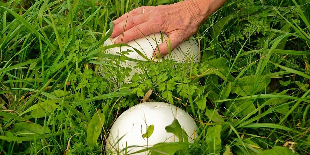 How To Identify Puffball Mushrooms