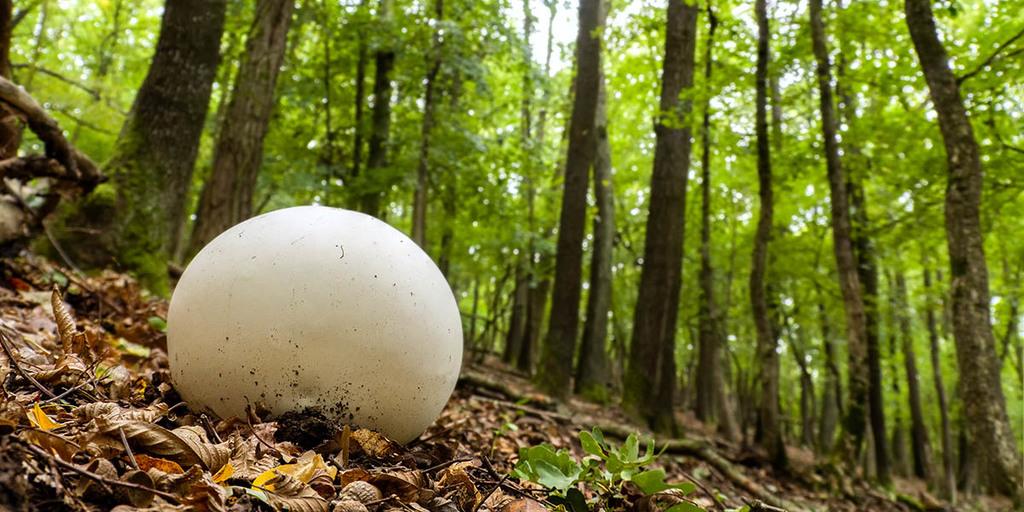 Puffball Habitats