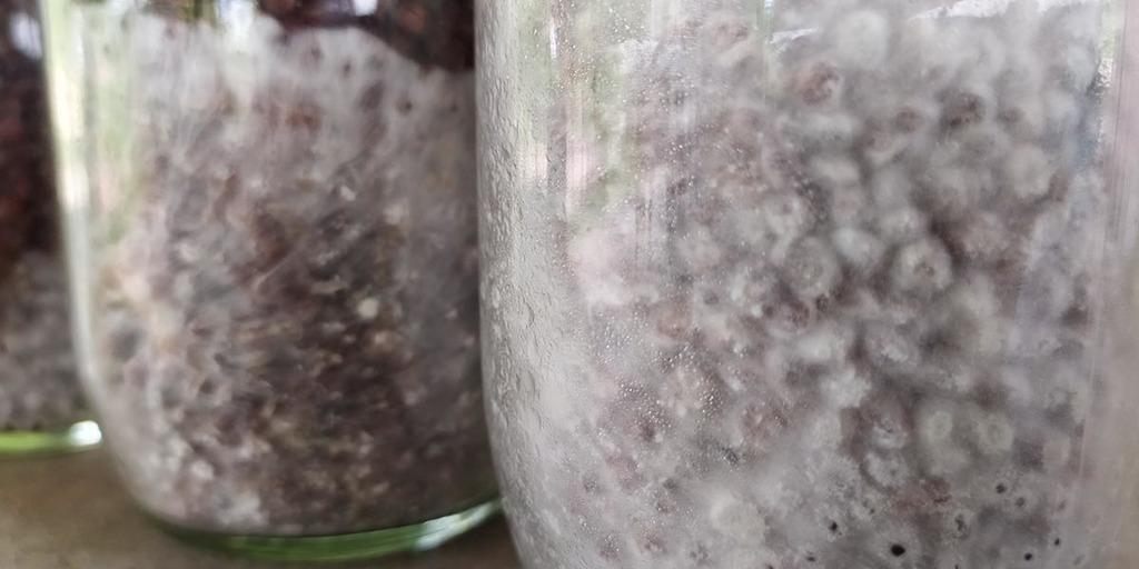 Mushroom Spawn Colonized