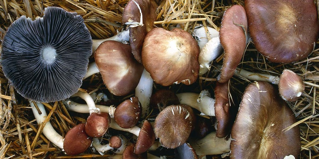 Identify Your Mushrooms Before Eating