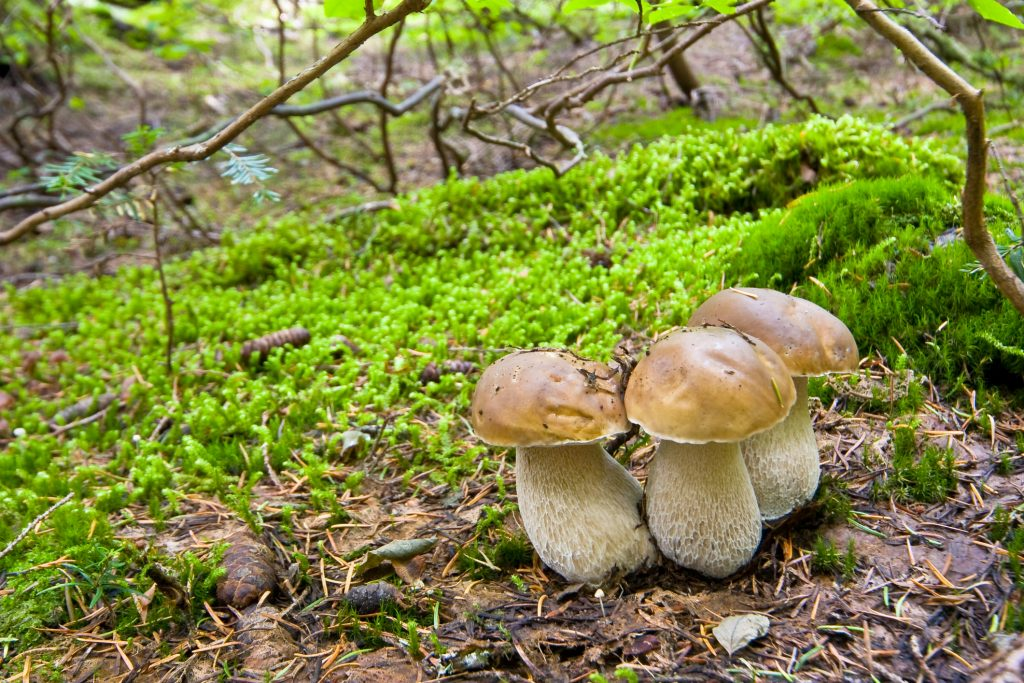 Three porcini mushrooms growing close together in a forest.