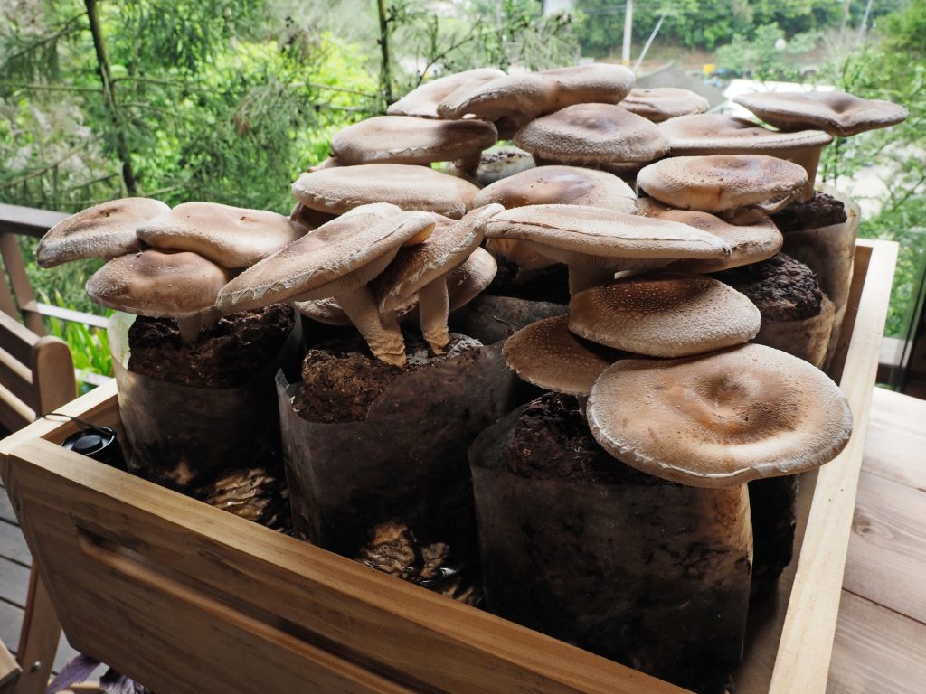 Mushrooms growing in bags in wooden container