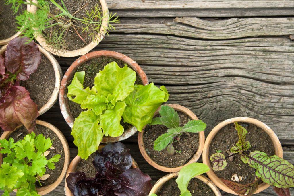 A salad garden in pots