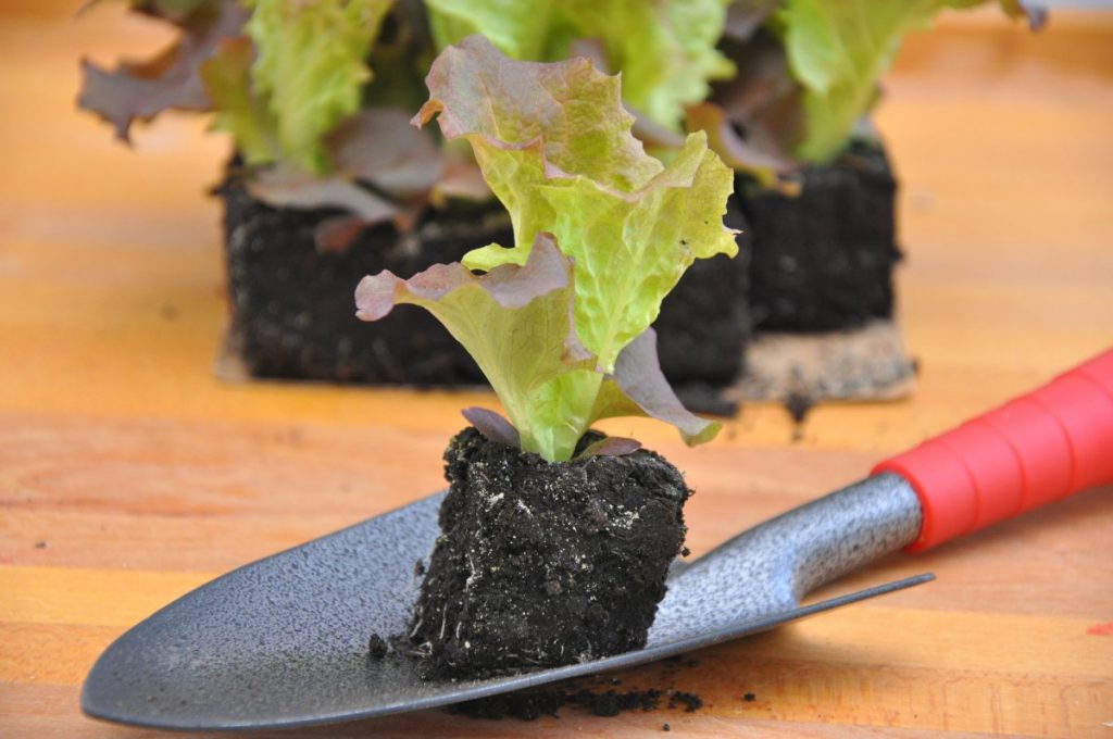Lettuce seedling being planted in a salad garden