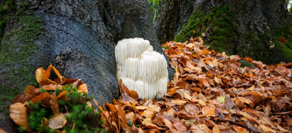 Lion's mane mushrooms growing in a forest