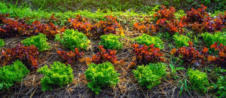 Salad greens growing in an organic garden with mulch