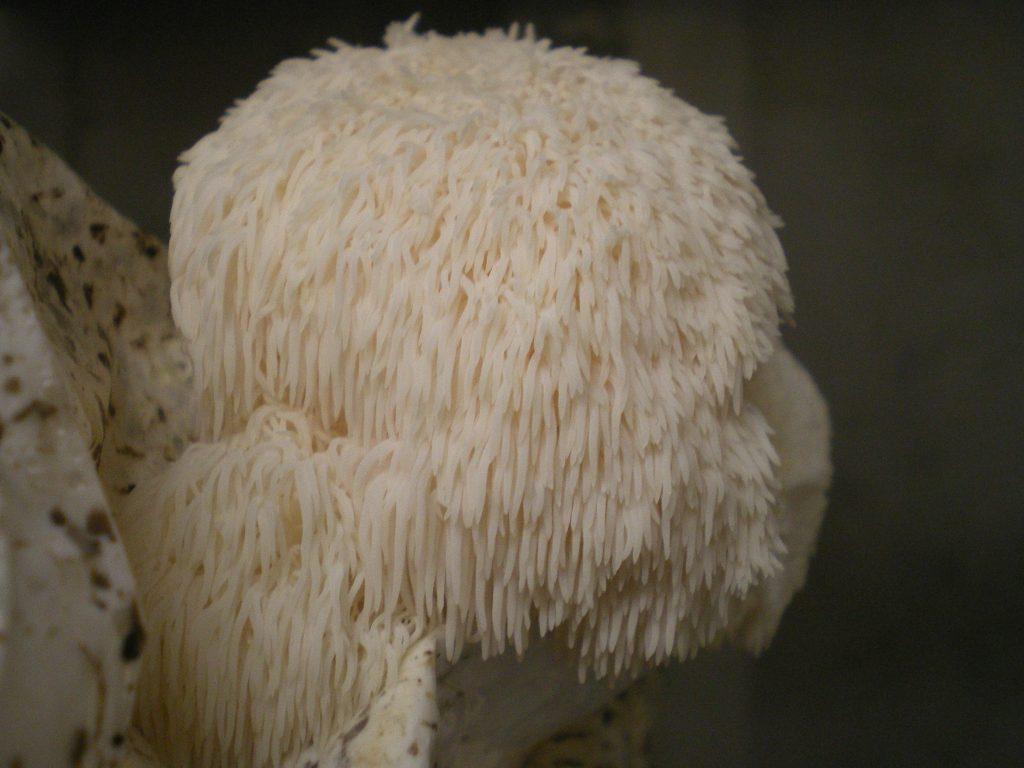 Mature lions mane mushroom