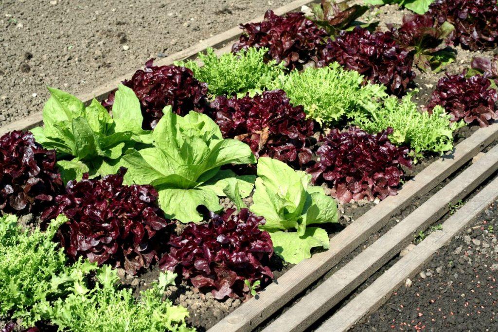 A salad garden with leafy greens