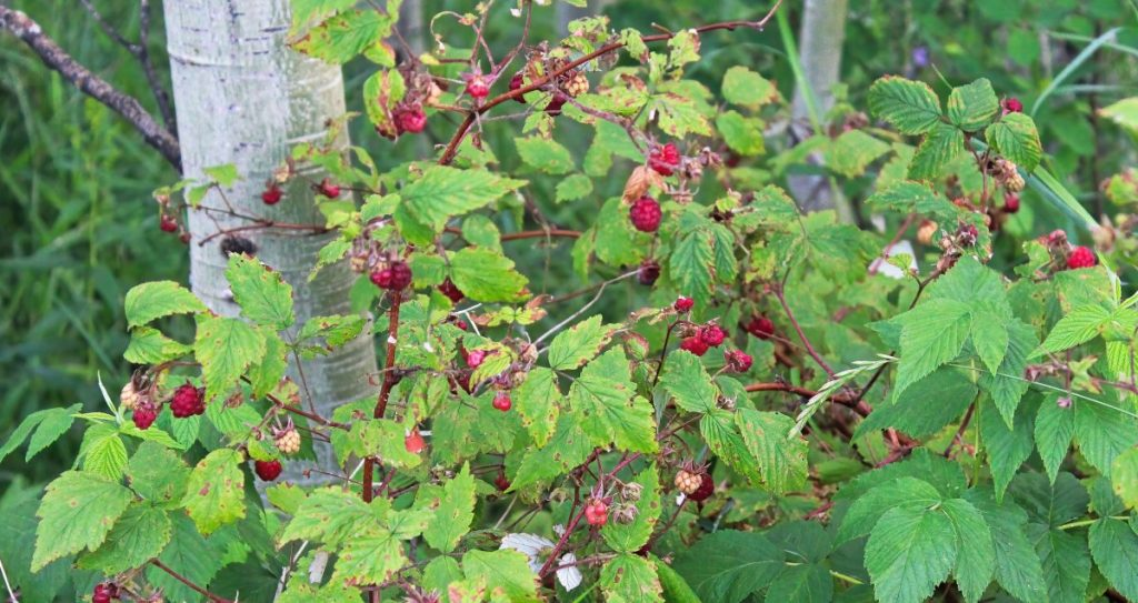 Wild berries form part of the shrub food forest layer