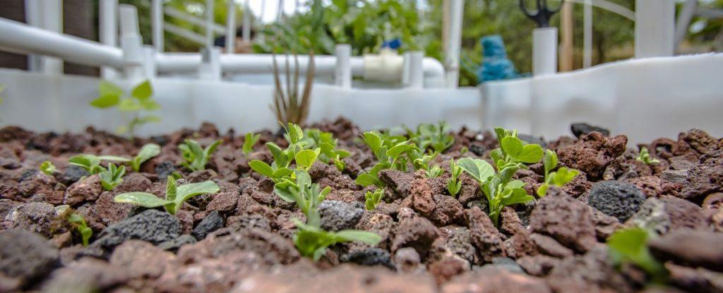 Media-based aquaponics grow bed with squash plants